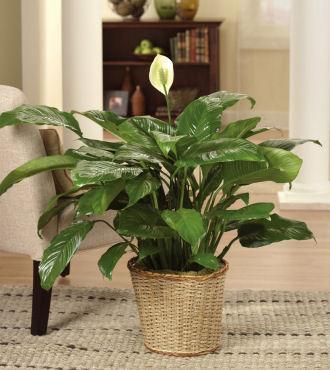 vitorlavirág, spathiphyllum