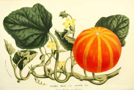 cucumis melo pumpkin
